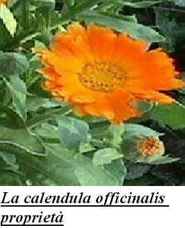 La calendula officinalis proprietà