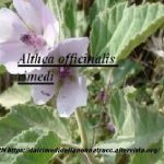 Althea officinalis rimedi