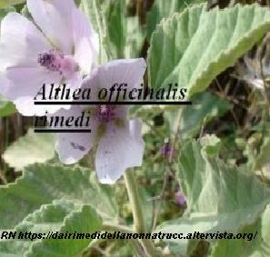 Althea officinalis rimedi