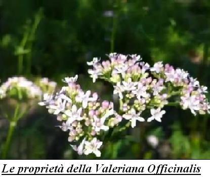 Le proprietà della Valeriana Officinalis