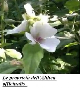 Le proprietà dell'Althea officinalis