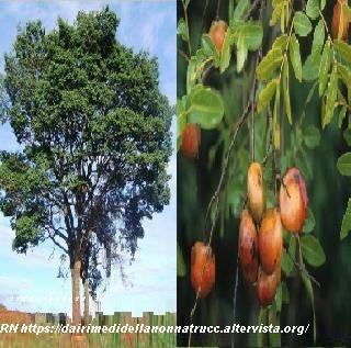 Olio di copaiba proprietà e utilizzo